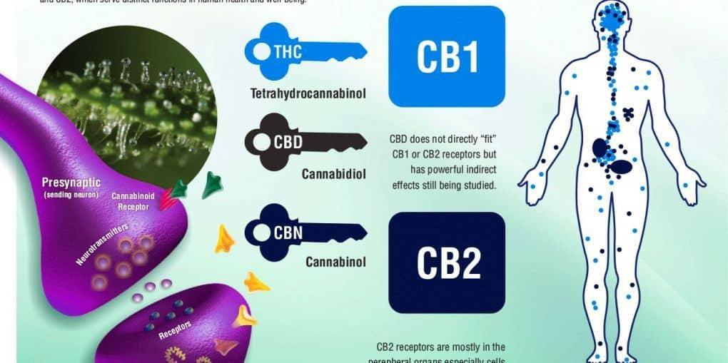 Endocannabinoids: The Brain and Bodys Marijuana and Beyond